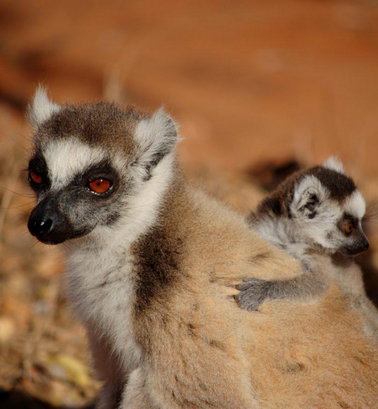 Lemurs tours